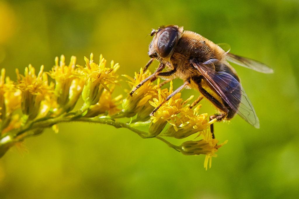 Biene auf grün