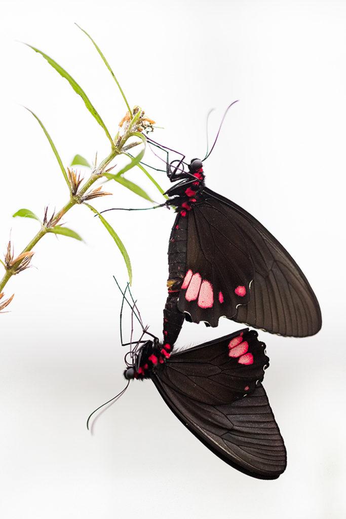 Schmetterling Highkey